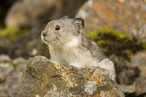 Collared Pika {Ochotona collaris} Denali NP, Alaska, USA  -  Mary McDonald