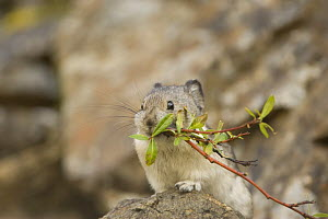 Collared Pika {Ochotona collaris} gathering sticks for nest, Denali NP, Alaska, USA  -  Mary McDonald