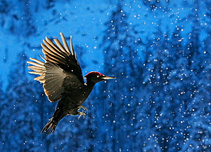 Black Woodpecker (Dryocopus martius) flying through snow, Posio, Finland, February 2008. Magic Moments book plate.  -  Markus Varesvuo