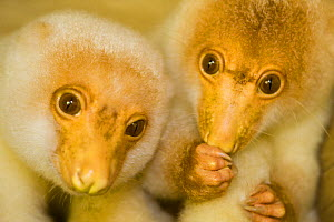 Pair of young Short-tailed spotted cuscus (Spilocuscus maculatus) Papua New Guinea, captive  -  Michele Westmorland