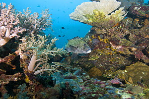 Many spotted sweetlips ( Plectorhinchus chaetodontoides) hiding in colorful coral reef, Paul's Reef, Tufi, Oro Province, Papua New Guinea - Michele Westmorland