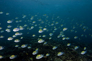 School of Indo-Pacific Sergeant (Abudefduf vaigiensis) Paul's Reef, Tufi, Oro Province, Papua New Guinea - Michele Westmorland