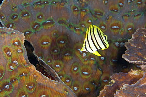 Eight-banded butterflyfish (Chaetodon octofasciatus) House Reef at the Jetty, Tufi, Oro Province, Papua New Guinea - Michele Westmorland