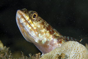 Lizardfish (Synodus variegatus) House Reef at the Jetty, Tufi, Oro Province, Papua New Guinea - Michele Westmorland