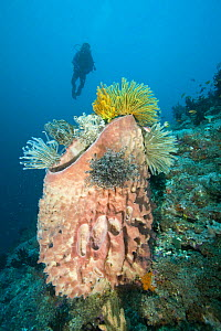 Diver at healthy reef system with large Barrel sponge (Xestospongia testudinaria) covered with crinoids / feather stars (Oxycomanthus bennetti). Mulloway's Reef, Tufi, Papua New Guinea, model released...  -  Michele Westmorland