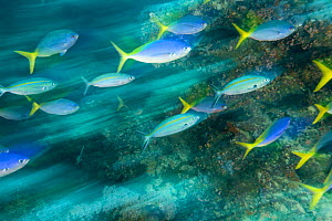 Motion shot of Blue and gold fusilier (Caesio teres) Mulloway's Reef, Tufi, Papua New Guinea - Michele Westmorland