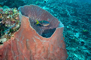 Fusilier (Caesio teres) being cleaned by a Cleaner wrasse (Labroides dimidiatus) using barrel sponge as a cleaning station. Phil's Reef, Tufi, Papua New Guinea - Michele Westmorland