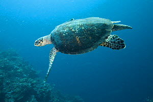 Hawksbill turtle (Eretmochelys imbricata) swimming, Phil's Reef, Tufi, Papua New Guinea - Michele Westmorland