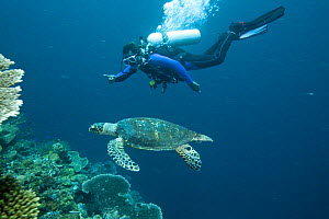 Diver with Hawksbill turtle (Eretmochelys imbricata) swimming, Phil's Reef, Tufi, Papua New Guinea May 2008 - Michele Westmorland