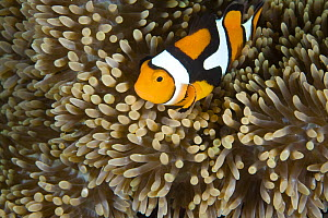 Clown anemonefish (Amphiprion percula) amongst anemone tentacles at night, note unusual banding and coloration, House Jetty Reef, Tufi, Papua New Guinea - Michele Westmorland