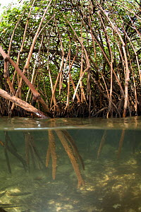Split level view of shallow mangrove root system and upper mangroves in background. McLaren (Kofulu) Harbour, Tufi, Papua New Guinea - Michele Westmorland