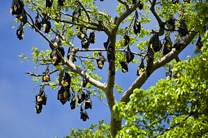 Fruit bat / flying fox {Megachiroptera} roosting during the day in trees, Rano Island, Vanuatu  -  Michele Westmorland
