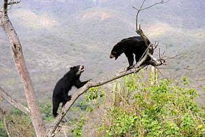 Encounter and intimidating behaviour between two Spectacled bears (Tremarctos ornatus) climbing in tree, dry forest, Chaparri Ecological Reserve, Peru, South America, captive  -  Eric Baccega