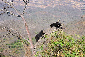 Encounter and intimidating behavior between two Spectacled bears (Tremarctos ornatus) climbing in tree, Chaparri Ecological Reserve, Peru, South America, captive - Eric Baccega