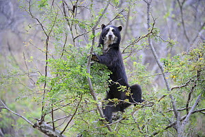 Spectacled bear (Tremarctos ornatus) climbing in tree in the dry forest, Chaparri Ecological Reserve, Peru, South America, captive - Eric Baccega