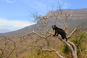 Spectacled bear (Tremarctos ornatus) climbing in tree, Chaparri Ecological Reserve with Mount Chaparri in the background, Peru, South America  -  Eric Baccega