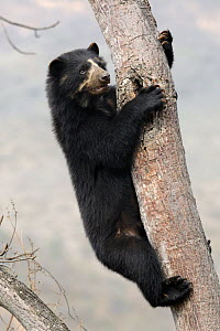 Spectacled bear (Tremarctos ornatus) climbing in tree, Chaparri Ecological Reserve, Peru, South America  -  Eric Baccega