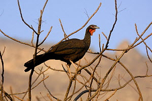 White-winged guan (Penelope albipennis) critically endangered and endemic to Chaparri Ecological Reserve, Peru, South America  -  Eric Baccega
