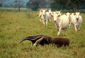 Giant Anteater (Myrmecophaga tridactyla) and cattle in the Pantanal, Mato Grosso do Sul State, Western Brazil. Endangered - Luiz Claudio Marigo