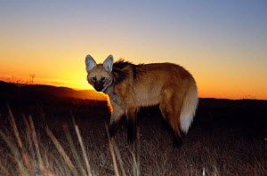 Maned wolf (Chrysocyon brachyurus) in its natural habitat, at sunset, the grasslands of the Brazilian Cerrado, Serra da Canastra National Park, Minas Gerais State, Brazil.  -  Luiz Claudio Marigo