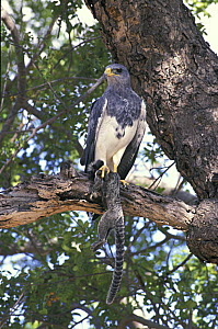Black-chested buzzard-eagle (Geranoaetus melanoleucus) with Common marmoset (Callithrix jacchus) prey in its claws, Caatinga region of Northeastern Bahia State, Northeastern Brazil.  -  Luiz Claudio Marigo