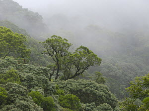 Mist over the canopy of Atlantic rainforest, Santa Catarina State, Southern Brazil.  -  Luiz Claudio Marigo