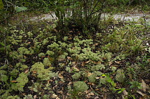 """Lichens (Cladonia sp) growing on the rainforest floor in the """"campina"""" vegetation, at Campina Biological Reserve of the National Institute for Research in the Amazon, Amazonas State, Northern Brazil.  -  Luiz Claudio Marigo"""