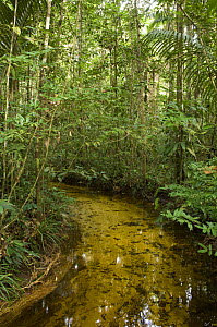 Igarap� / watercourse in the upland Amazon rainforest of Cuieiras Biological Reserve, Amazonas State, Northern Brazil.  -  Luiz Claudio Marigo