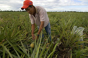 Man harvesting pineapples, Roraima State, Northern Brazil.  -  Luiz Claudio Marigo