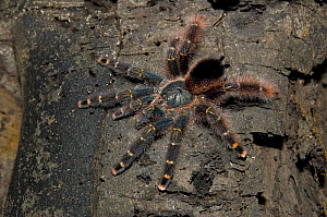 "Brazilian yellow banded pink toe tarantula (Avicularia juruensis) on tree trunk of ""v�rzea"" Amazon flooded forest, Mamirau� Sustainable Development Reserve, Amazonas State, Northern Brazil.  -  Luiz Claudio Marigo"