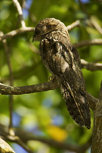 Common Potoo (Nyctibius griseus) resting by day in the crown of a red mangrove tree, Caroni Bird Sanctuary, Caroni Swamp, Trinidad.  -  Tim Laman