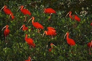 Scarlet ibis (Eudocimus ruber) roosting in trees on a small mangrove island in the Caroni Swamp, Caroni Bird Sanctuary, Trinidad.  -  Tim Laman