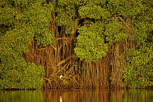 Early morning light illuminates a wall of Red mangroves (Rhizophora mangle) at the edge of a lagoon in Caroni Swamp. A single juvenile little blue heron (Egretta caerulea) perches in the mangroves. C...  -  Tim Laman