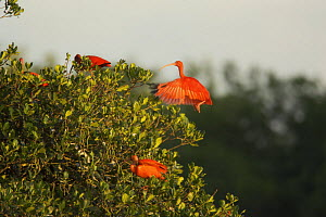 Scarlet ibis (Eudocimus ruber) on their roosting trees on a small mangrove island in the Caroni Swamp, Caroni Bird Sanctuary, Trinidad.  -  Tim Laman