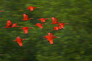 Scarlet Ibis (Eudocimus ruber) in flight to their roosting sites on small mangrove islands in the Caroni Swamp mangrove forest, Caroni Bird Sanctuary, Trinidad.  -  Tim Laman