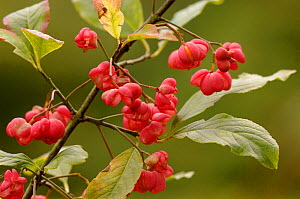 Spindle tree berries {Euonymus europaeus} UK  -  Dave Watts