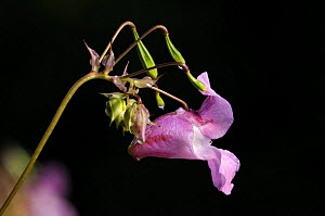Himalayan / Indian balsam {Impatiens balsamifera} plant in flower. Invasive species and difficult to control / manage due to the ways its seed heads explode to spread the plant. Parke (NT) Bovey Tracy...  -  Ross Hoddinott