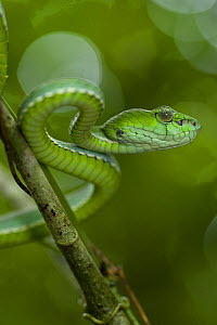 Pope's pit / tree viper (Trimeresurus popeorum) in lowland forest. Danum Valley, Sabah, Borneo, Malaysia  -  Nick Garbutt
