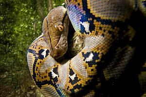 Close up of juvenile Reticulated python (Python reticulatus) looking down from tree, Danum Valley, Sabah, Borneo, Malaysia  -  Nick Garbutt