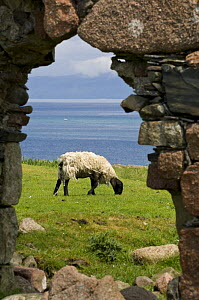 Sheep and stone arch ruin. Isle of Iona, Inner Hebrides, Scotland, UK. - Nick Garbutt