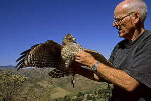 Buzz Hall with a Red-shouldered hawk (Buteo lineatus) Marin Headlands, California. Oct 2002. - Tim Laman