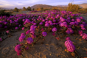 Desert sand verbena (Abronia villosa) in bloom in Anza-Borrego Desert State Park. California. Dec 2000. - Tim Laman