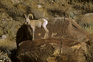 Desert bighorn sheep (Ovis canadensis nelsoni) male standing on a rock in Henderson Canyon. Anza-Borrego Desert State Park, California. - Tim Laman