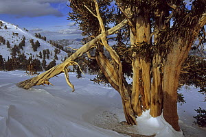Great Basin bristlecone pine trees (Pinus longaeva) in the Patriarch Grove area of the White Mountains, California. Mar 2004. - Tim Laman
