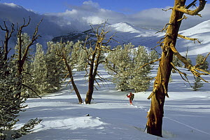 Man walking between Great Basin bristlecone pine trees (Pinus longaeva) in the Patriarch Grove area of the White Mountains, California. Mar 2004. - Tim Laman