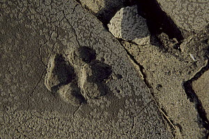 Coyote (Canis latrans) tracks in Anza-Borrego Desert State Park, California. Mar 2004. - Tim Laman