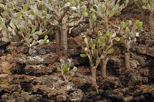 Giant prickly pear cactus (Opuntia sp.) growing on Champion Islet off Floreana (Charles) Island, Galapagos Islands. - Tim Laman