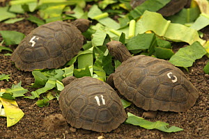 Young Galapagos giant tortoises (Geochelone nigra / Geochelone elephantopus) at the captive breeding facility at the Charles Darwin Research Station, Santa Cruz Island, Galapagos Islands. - Tim Laman