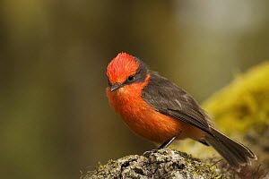 Vermilion flycatcher (Pyrocephalus rubinus) on a log, Santa Cruz Island, Galapagos Islands. - Tim Laman