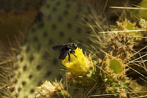 Galapagos carpenter bee (Xylocopa darwini) feeding from flower of giant Prickly pear cactus (Opuntia sp.). Endemic to Galapagos. Cerro Dragon, Santa Cruz Island, Galapagos Islands. - Tim Laman